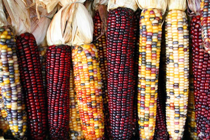 "Creative Commons, User: <a href=""http://en.wikipedia.org/wiki/Blue_corn#mediaviewer/File:Corncobs.jpg"">Asbestos</a>"