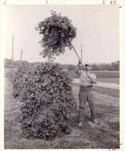 Stacking peanuts by hand.  Photo courtesy of Southampton County Historical Society.